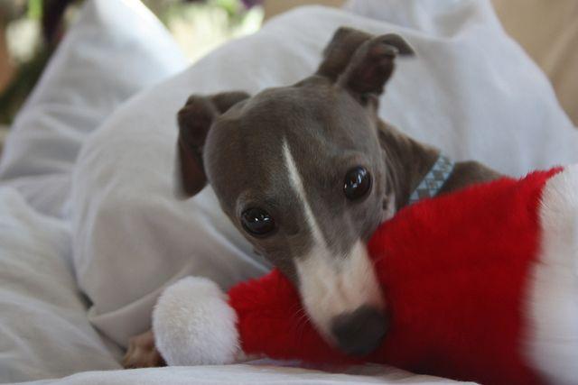Greyhound Xmas