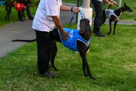 COVID-19: Advice for older Victorian greyhound trainers